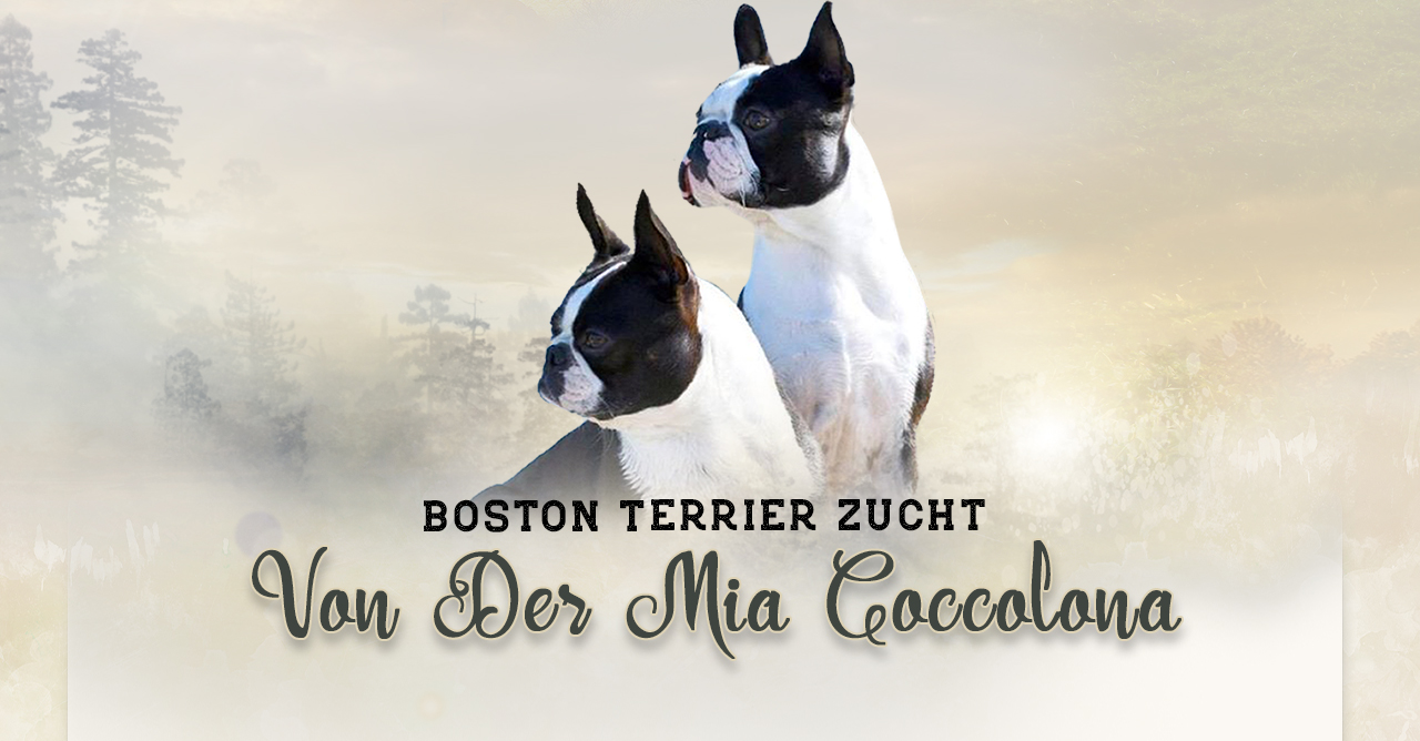 Boston Terrier Zucht von der Mia Coccolona
